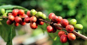 coffee-bean families